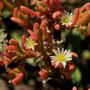 Mesembryanthemum nodiflorum - Corse - Avril 2010