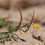 Hypecum procumbens subsp. procumbens - Corse - Avril 2010