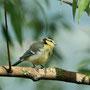 Junge Blaumeise (Cyanistes caeruleus)