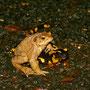 Hey Kumpel - Erdkröte und Feuersalamander