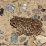 Kreuzkröte (Epidalea calamita) auf dem Deich
