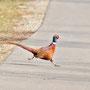 Roadrunner alias Fasan (Phasianus colchicus)