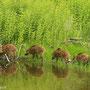 Wildschwein-Frischlinge (Sus scrofa)