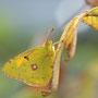 Wandergelbling (Colias croceus)