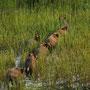 Wildschweinrotte (Sus scrofa)