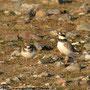 Annäherungsversuche bei den Sandregenpfeifern (Charadrius hiaticula)