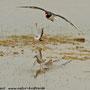 Bruchwasserläufer and friends (Sandregenpfeifer u. Austernfischer)
