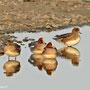 Pfeifenten (Anas penelope)