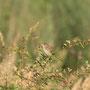 Den Feldschwirl (Locustella naevia) hört man oft, sieht man aber selten