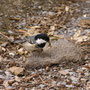 Tannenmeise (Parus ater) sucht Nistmaterial