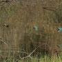 Eisvogel-Flugstudie, erstellt aus 5 Fotos