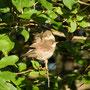 Junge Dorngrasmücken (Sylvia communis)