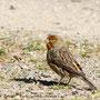 Gar nicht scheu - ein entflogener Kanarienvogel