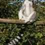 Katta im Vogelpark Marlow