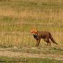 Fuchs - definitiv nicht wasserscheu