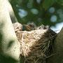 Junge Wacholderdrosseln (Turdus pilaris)