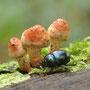 Wald-Mistkäfer (Anoplotrupes stercorosus)