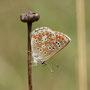 Sonnenröschenbläuling (Aricia sp.)