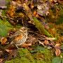Rotdrossel (Turdus iliacus)