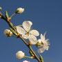 Wildkirschen-Blüte