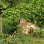 Junger Luchs, Wildpark Neuhaus