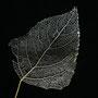 Ein von Bachflohkrebsen skelettiertes Blatt