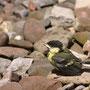 Junge Kohlmeise (Parus major) bei ihrem ersten Ausflug