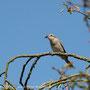 Neuntöter-Weibchen (Lanius collurio)