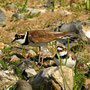 Flussregenpfeifer (Charadrius dubius)