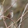 Singende Heckenbraunelle (Prunella modularis)