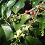 Blüten, grüne und rote Bohnen, alles an einem Zweig