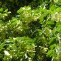 offene Werkstatt Gudwork, Lindenblüten Ernte an der Nidda