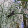 offene Werkstatt Gudwork, Schwalbenschwanz Raupe auf der Futterpflanze Fenchel untem Vorhang