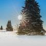 """die Sonne streichelt diese Fichte, im Hintergrund stehen weitere """"Familienmitglieder"""" - sie strotzen der Kälte und dem Schnee"""