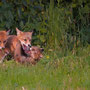 kleine Füchse beim spielen - Vogelsberg