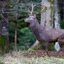Der König unserer Wälder