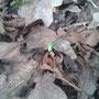 Grüne Huschspinne (Micrommata virescens)
