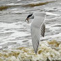 Flussseeschwalbe im Flug mit Beute am Bodden von Prerow
