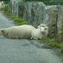 Schafe liegen quer auf der Straße