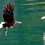 Seeadler mit Beute beim Trollfjord