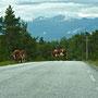 Kühe haben Vorfahrt auf dem Utvikfjell