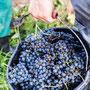 vinografie bei der Weinlese