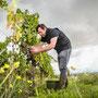 Winzer bei der Weinlese in Rheinhessen