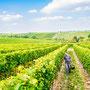 Weinberge in Rheinhessen vinografie