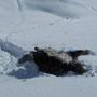 Coskan fühlt sich im Schnee sichtlich wohl!
