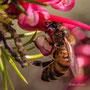 Grevillea juniperina et abeille. Samedi 21 mars 2020 Photographie : Christian Coulais
