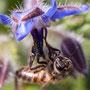 Bourrache et abeille. Samedi 21 mars 2020 Photographie : Christian Coulais