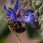 Bourrache et abeille. Vendredi 27 mars 2020 Photographie : Christian Coulais