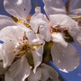 Cerisier. Samedi 21 mars 2020 Photographie : Christian Coulais
