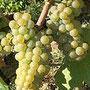 Cépage Melon de Bourgogne